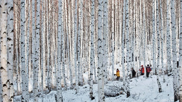 Hikers walk the trails in the birch tree forest of Inje County, Gangwon. The white bark and snow-covered ground present great views for wintertime travelers. [PARK SANG-MOON]