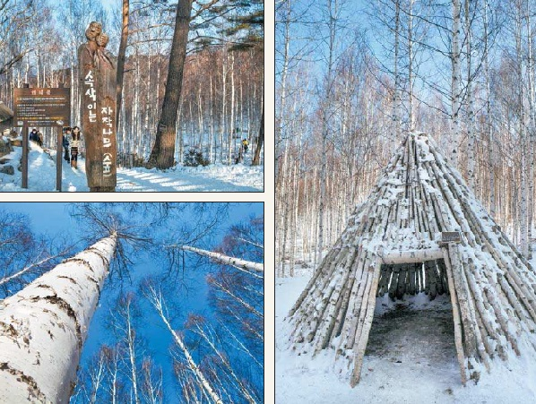 Clockwise: The forest contains a cone-shaped wooden shelter made of birch trees; Birch trees grow straight up toward a clear blue sky; A wooden sign marks the entrance to the birch tree forest. [PARK SANG-MOON]